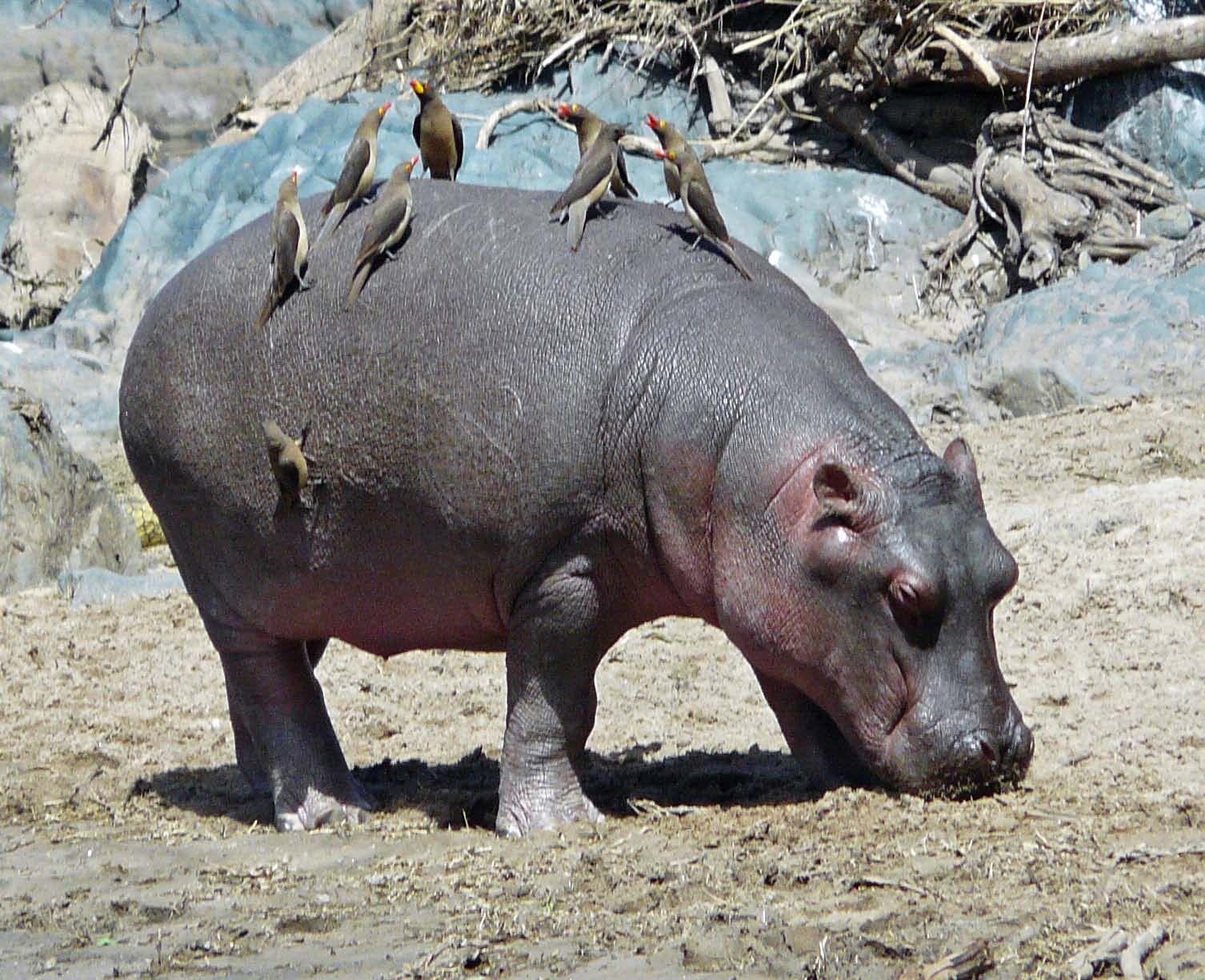 hippo and tick bird