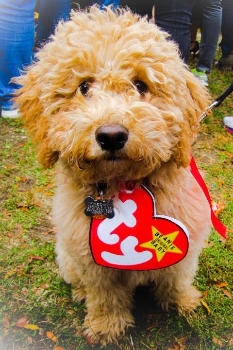 9df991a07f7 Remember when Beanie Babies were a  90s craze  Print out the iconic tag to  put around your furry friend in this simple costume. Get the tutorial at  You Bet ...