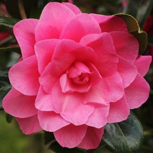 Jim Camelias Camellia Waterlily