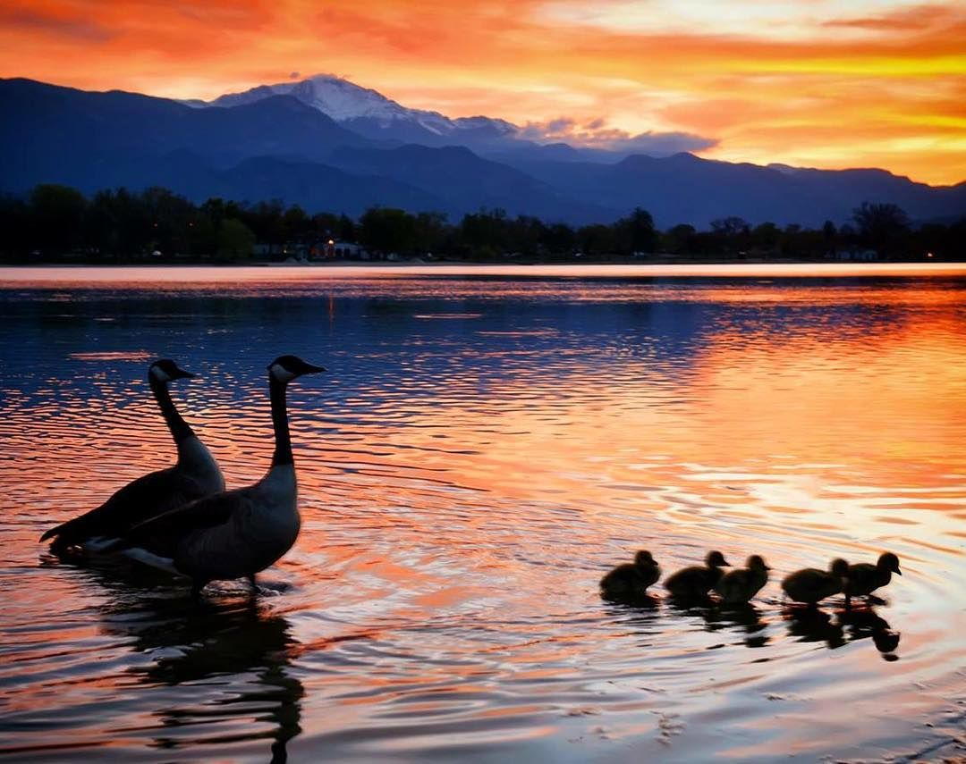 A family of geese enjoying the sunset over Pikes Peak