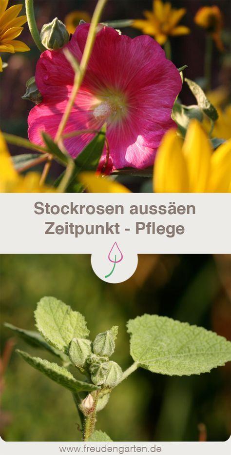 Stockrosen aussäen #hortensienvermehren