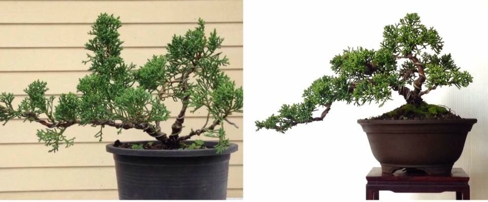 Before after bonsai