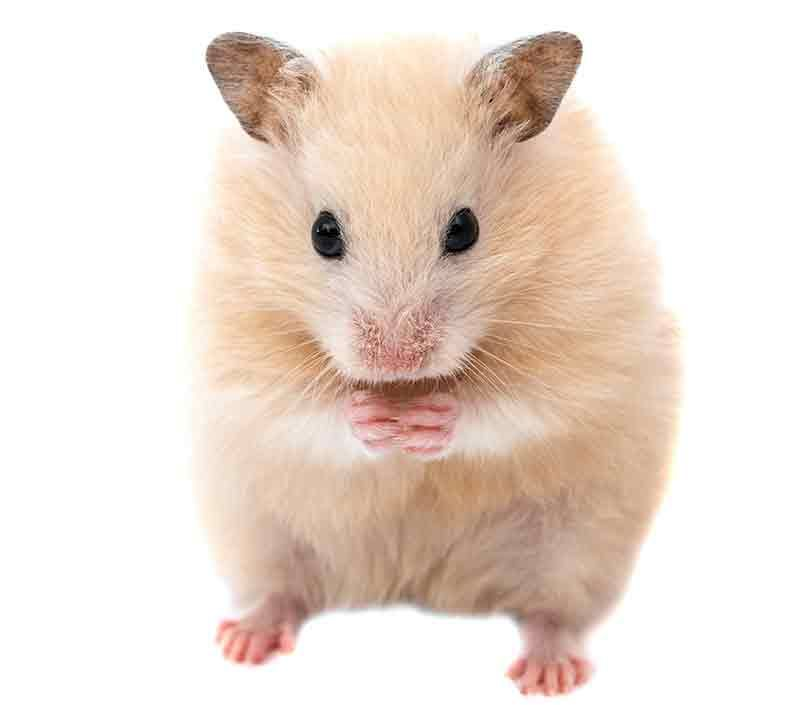 Boy Hamster Names 300 Cool Ideas For Male Hamster Names