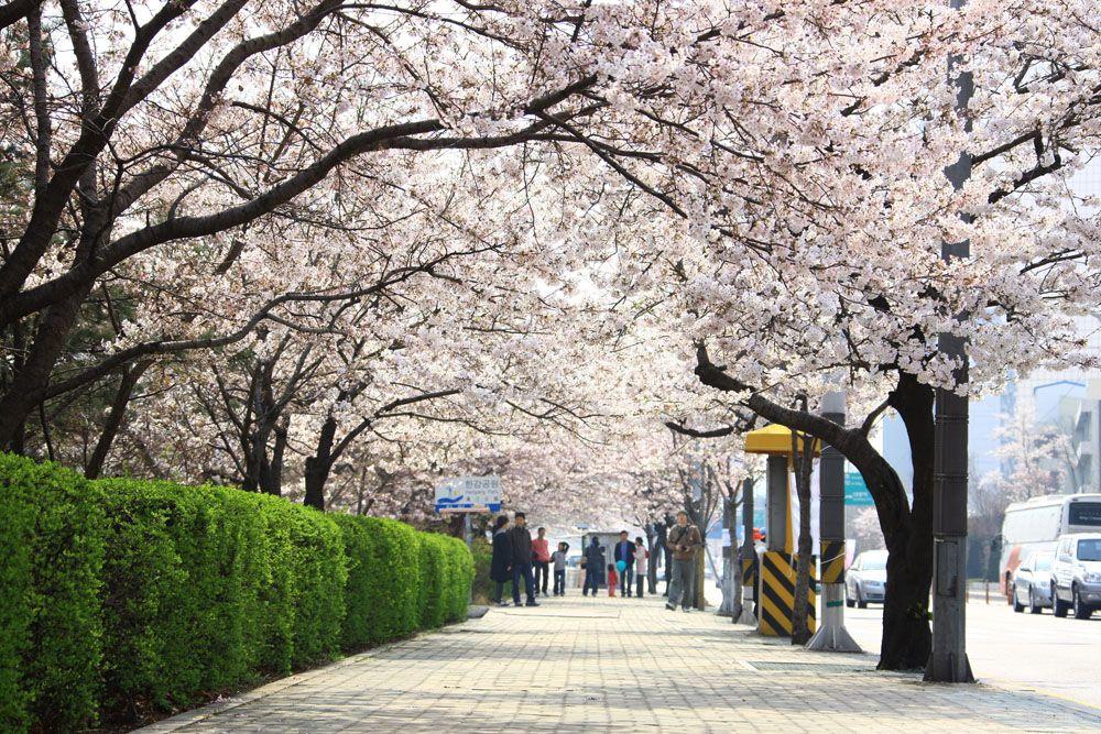 Yeouido Spring Flower Festival In Seoul Korea Pemandangan Fotografi Alam Latar Belakang