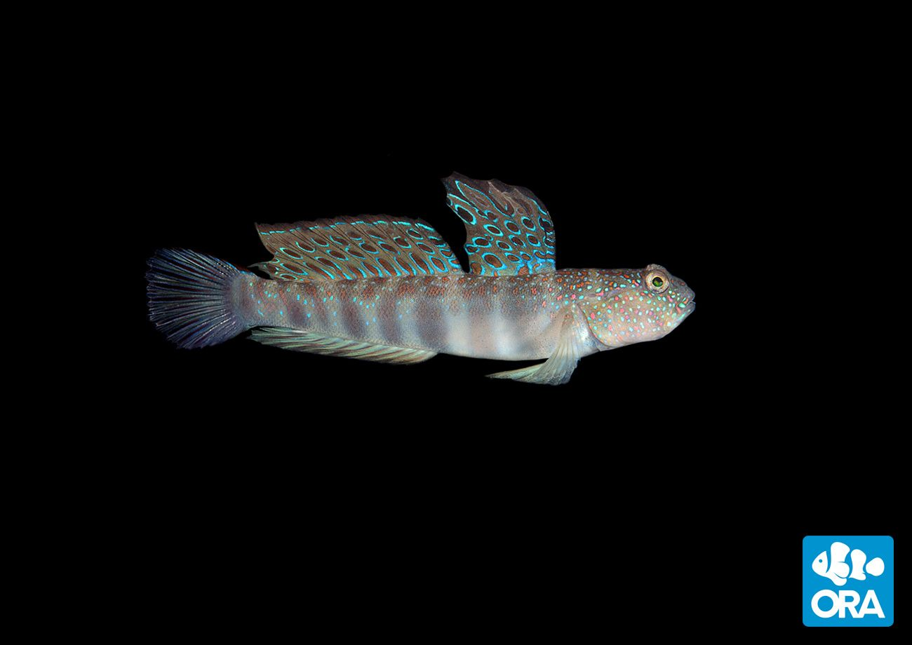 Pink Spotted Watchman Goby Cryptocentrus Leptocephalus Ora Oceans Reefs Cool Fish Pet Training Family Pet