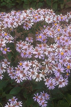 Big Leaf Aster Plants For Shady Areas Plants Perfect Plants
