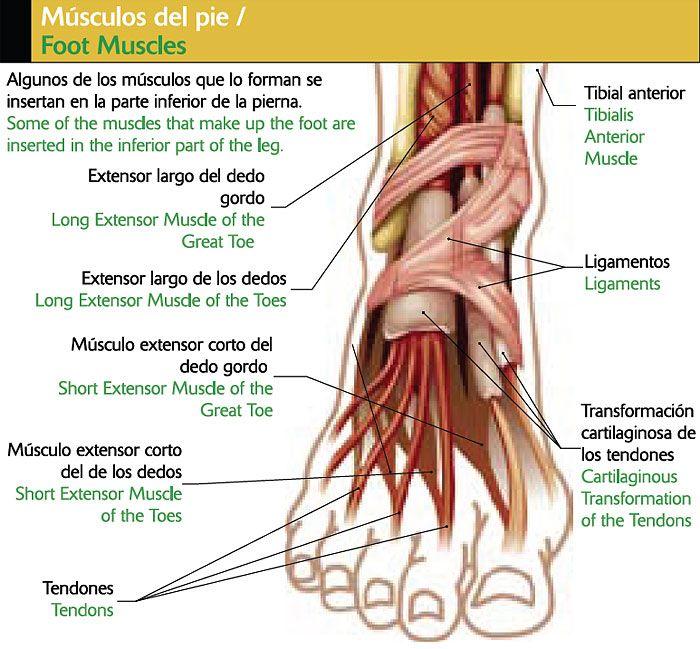 Partes de los musculos del pie