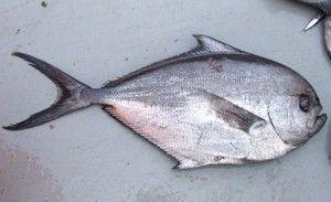 Pomfret Fish Fish Pomfret Fish Pomfret