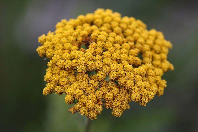Achillea filipendulina. Una de las flores que descubrimos en el Trivial QDF de esta semana #TrivialQDF