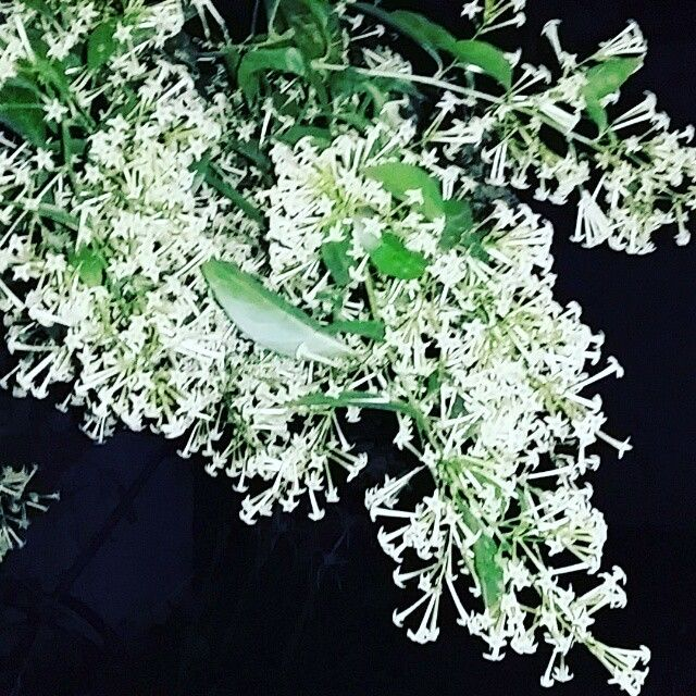 Hasnahena flowers. 11th May/15, 4:05am.
