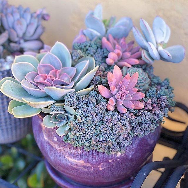 5cm Succulent live Plants Echeveria Rainbow Crassulaceae Home Garden rare pot