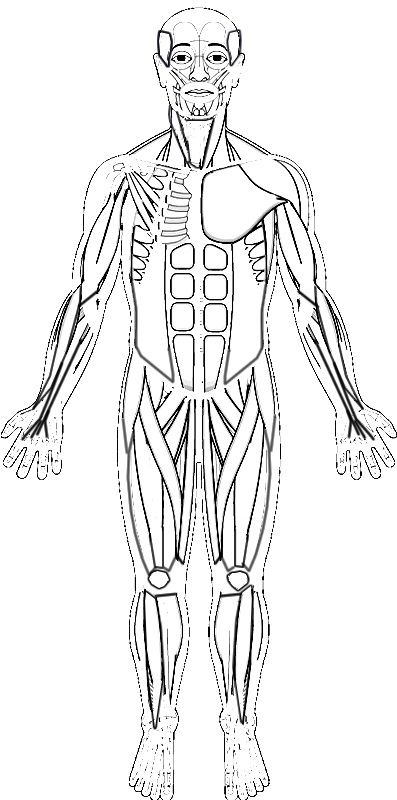 printable muscle anatomy coloring