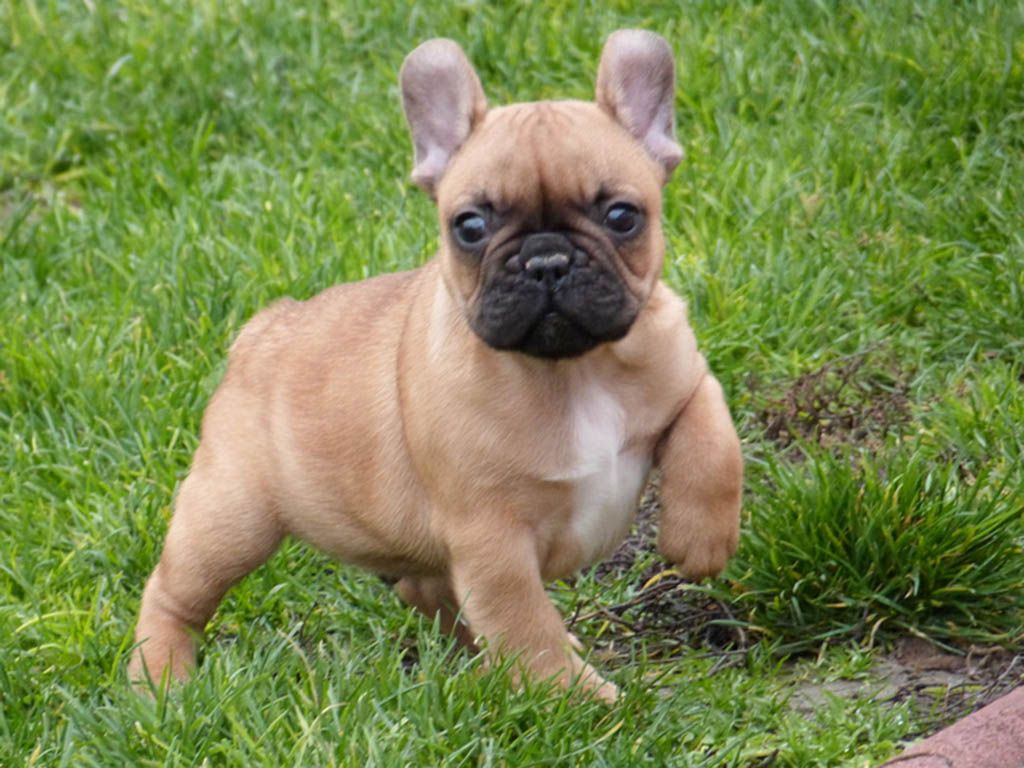 French Bulldog For Sale Purchase A French Bulldog Puppy In 2020 French Bulldog For Sale French Bulldog Bulldog Puppies