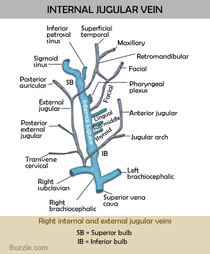 Internal Jugular Vein Diagram And Functions Medicine Anatomy