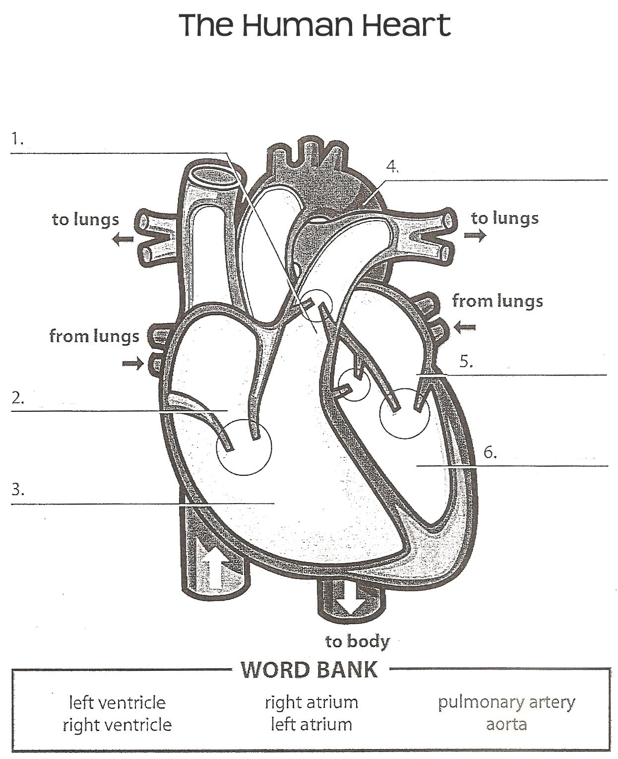 Printables Human Heart Worksheet heart worksheet davezan human davezan