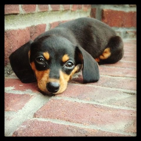 My Sweet Willow At 7 Weeks Old Mini Doxin Cute Puppies Weiner