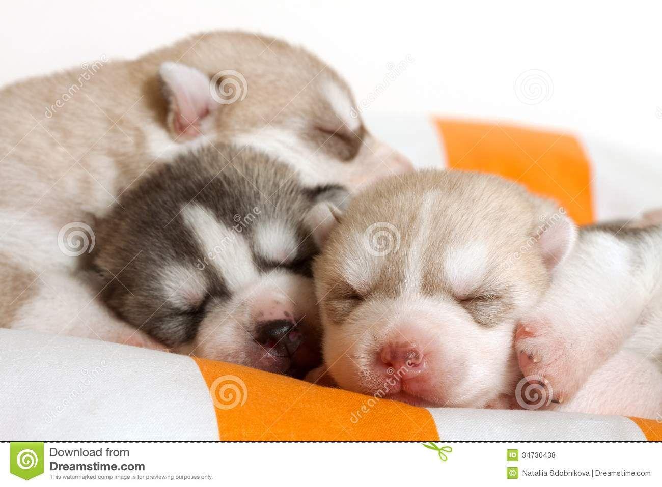 Newborn Puppy Newborn Puppies Siberian Husky Puppies Puppies