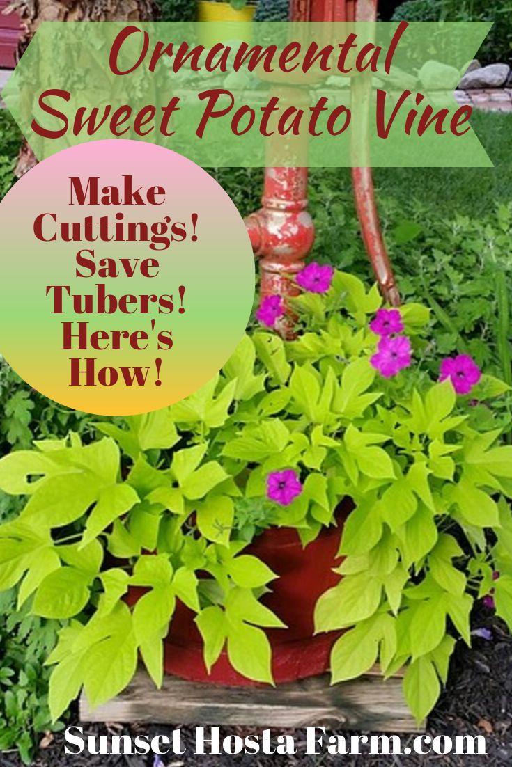 Growing ornamental sweet potato vines propagation