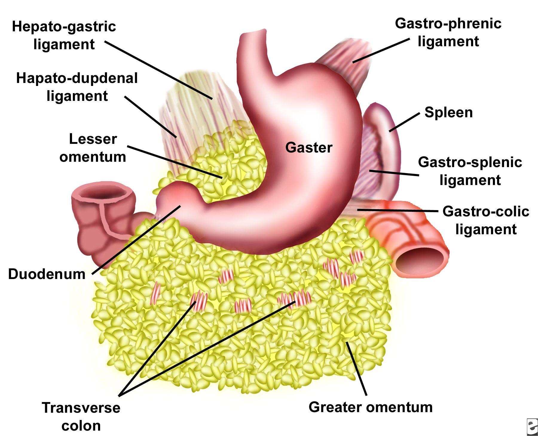 Anatomy Chapter Digestive System Organ Locatio   www.oustormcrowd ...