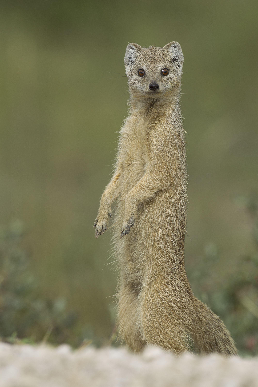 Mongoose (With images) Mongoose, Mammals, Pet birds