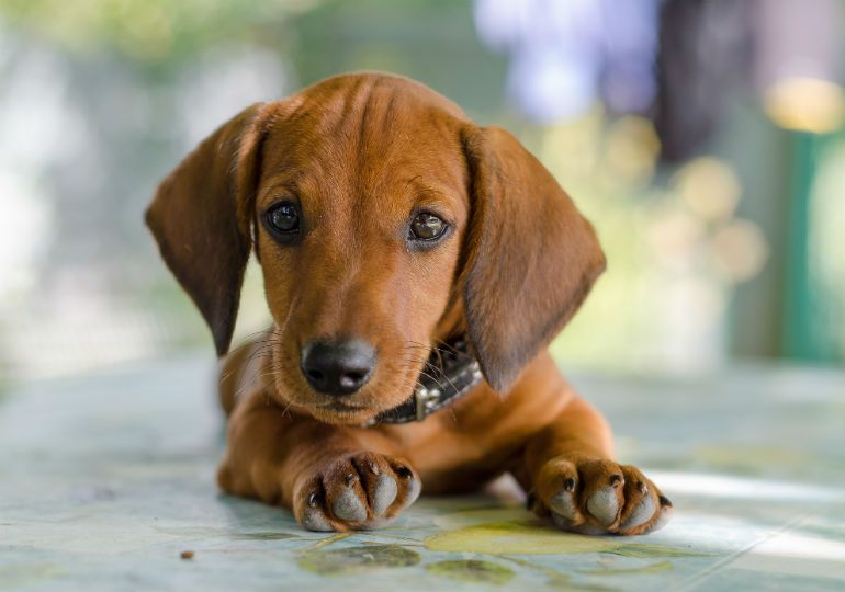 Things You Didn T Know About The Dachshund Dachshund Puppies For