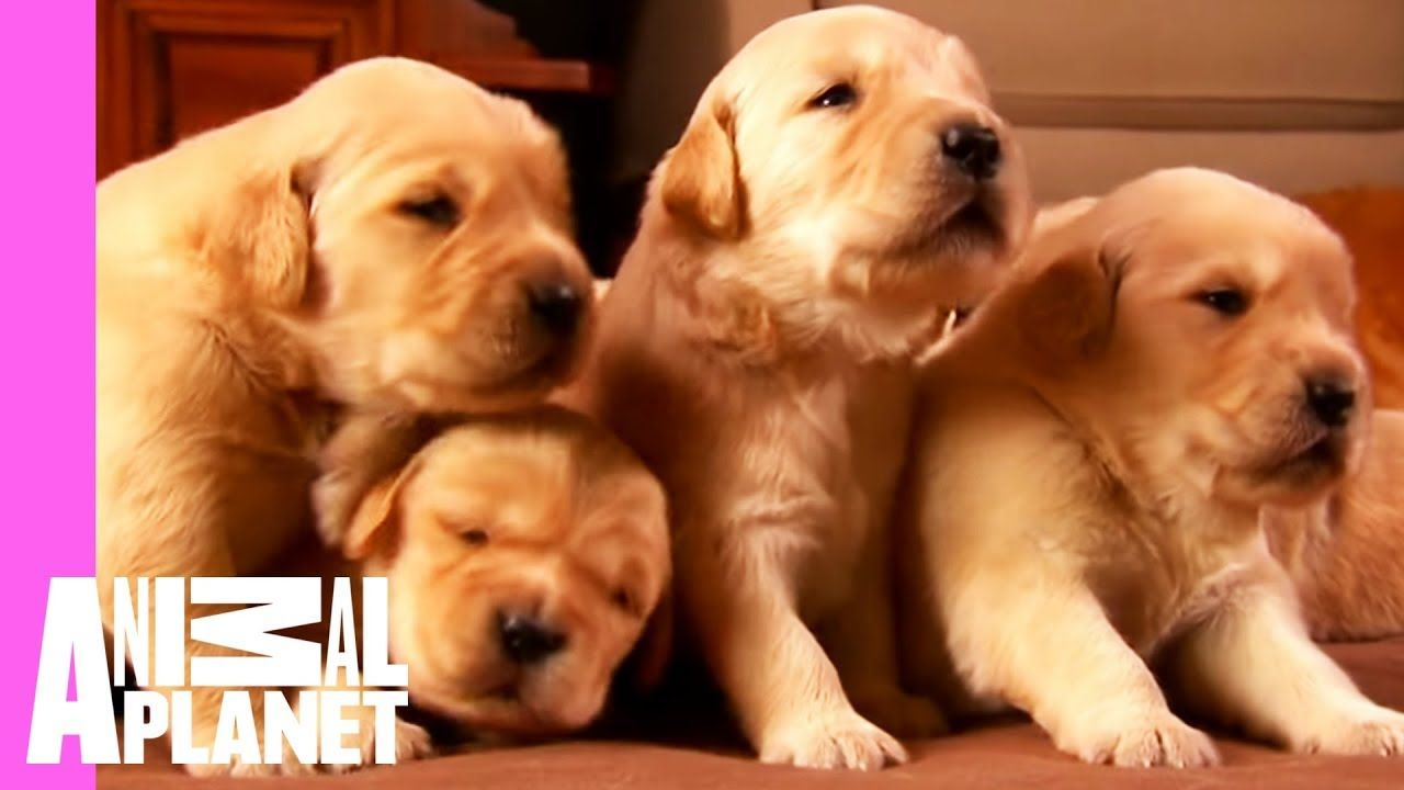 Growing Up Golden Golden Retriever Puppies Too Cute Golden Retriever Puppies Labrador Retriever Puppies