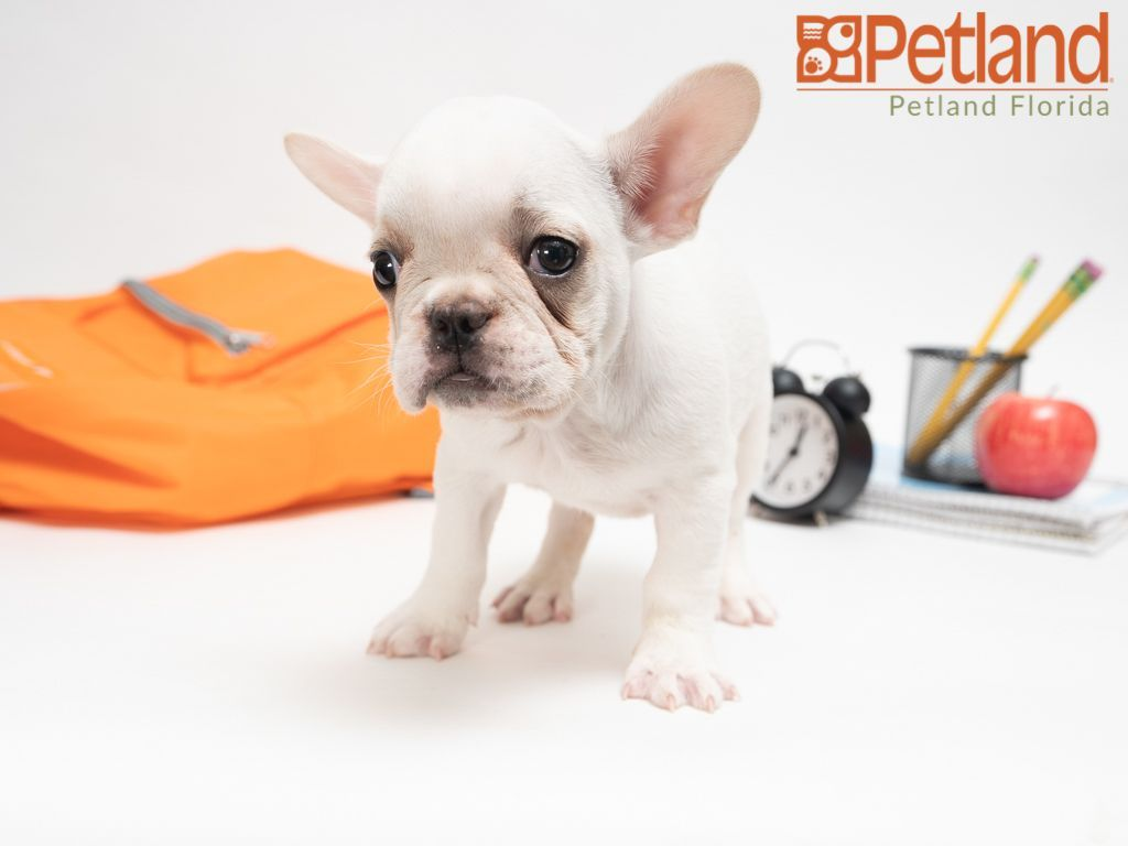 Puppies For Sale Chihuahua Puppies French Bulldog Dog Lovers