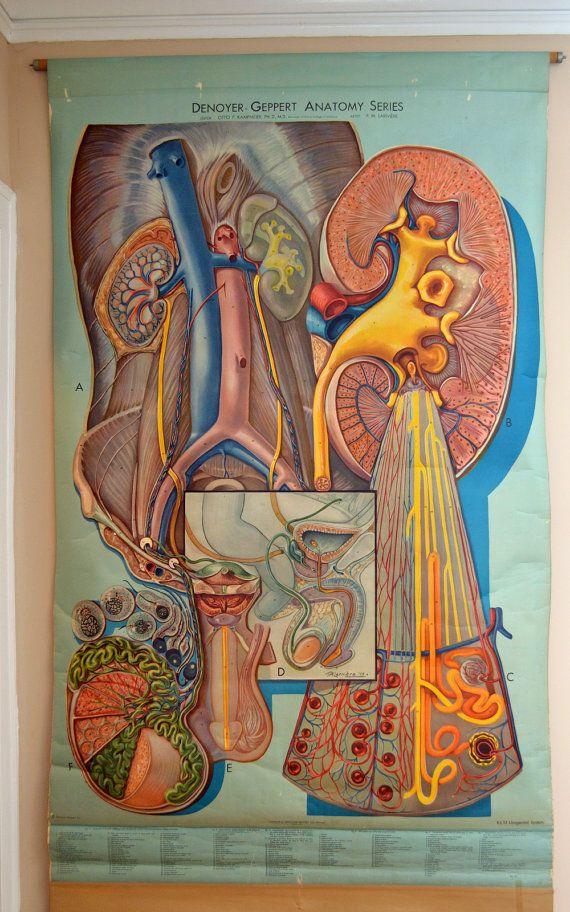 Huge Vintage Anatomical School Wall Chart - Human Urogenital System ...