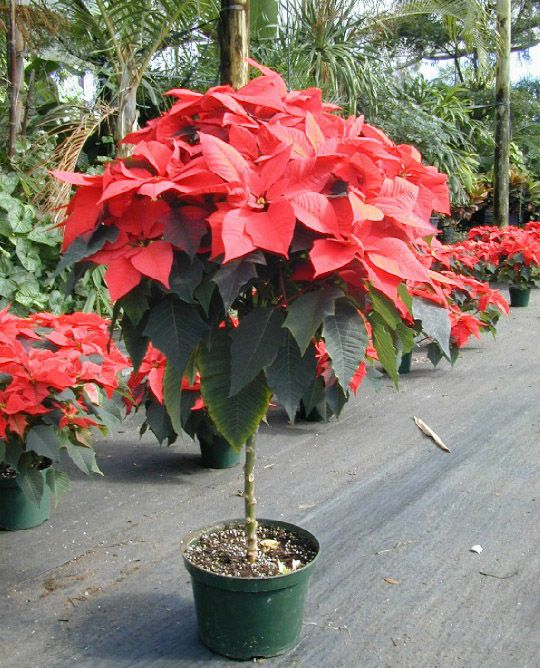 Poinsettia Tree Http Www Himachalflowers Com Photo Galerry Html Ornamental Poinsettia Tree Winter Flowers Plants
