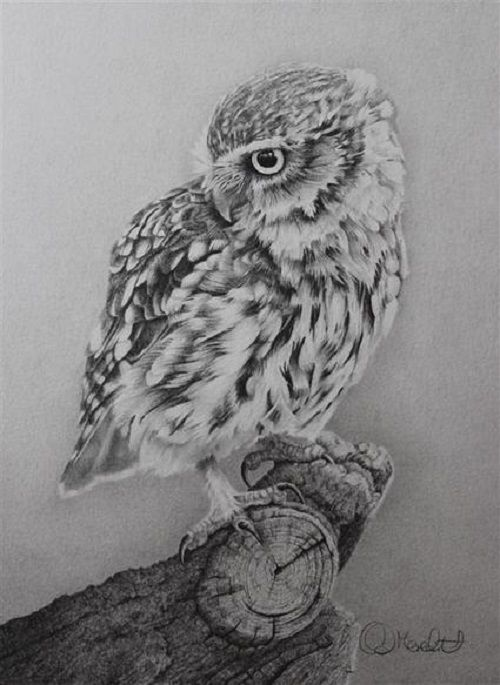 little owl realistic pencil drawing by british wildlife artist clive meredith