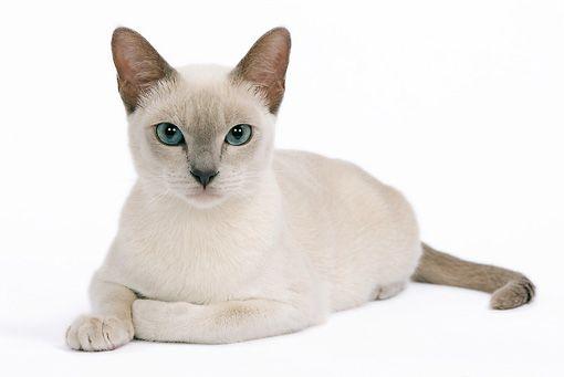 Cat 02 Je0095 01 C Kimball Stock Tonkinese Lilac Cat Laying On White Seamless Tonkinese Cat Tonkinese Burmese Cat