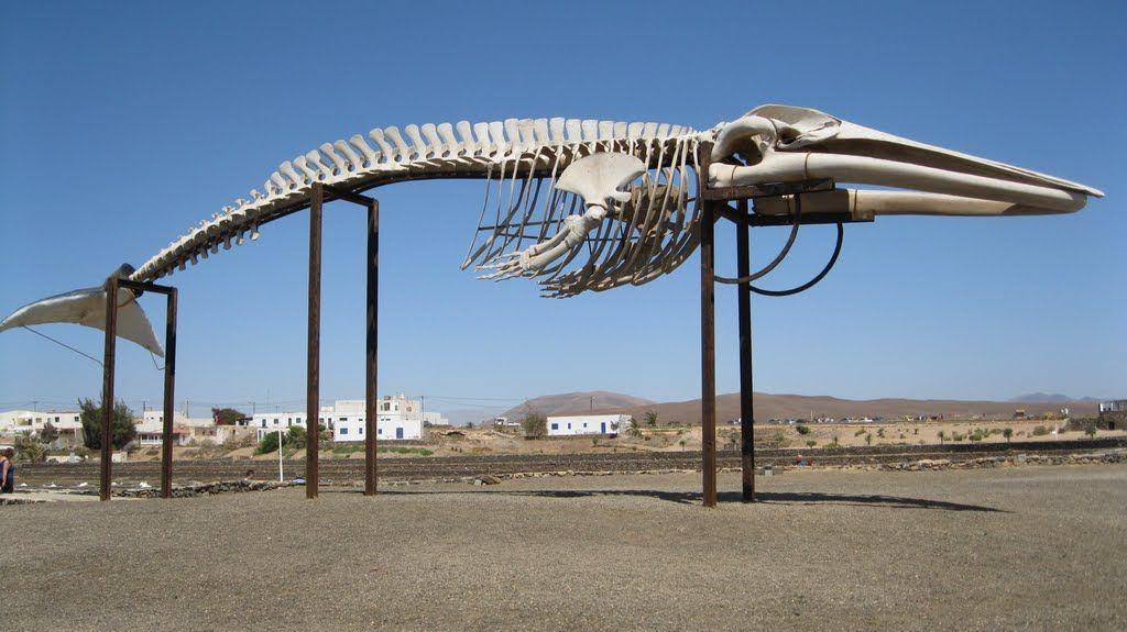 Sperm Whale Skeleton Google Search Pinterest