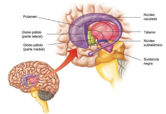La Sustancia Negra del cerebro, anatomía, función y su relación con ...