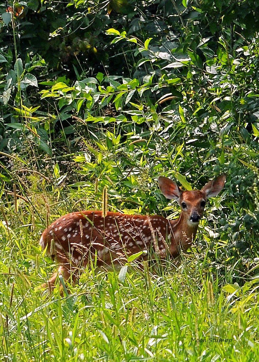 Moon Stumpp...fawn, deer, summer...Backroads Series Art