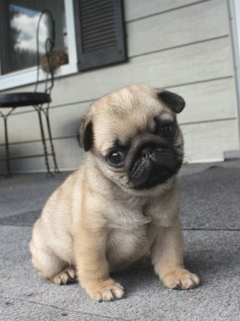 25 Adorable Animals To Brighten Your Day Teacup Pug Puppies