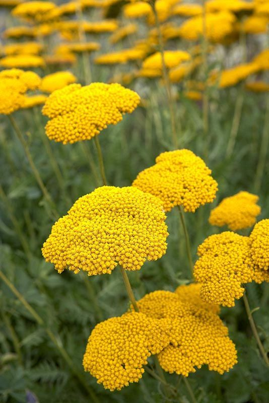 Achillea Coronation Gold - good to go with the Kniphofia