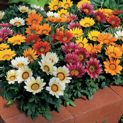 Gazania:  Zone 6-10  Groundcover, perennial  Partial to full sun  4 in high and 10 in wide