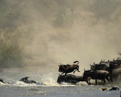 Wildebeest's Wisdom includes:  -movement toward new opportunities  -ability to live with the masses  -understanding the value of travel  -the ability to move with the seasons  -understanding the power of the group in defense