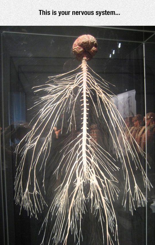 The Amazing Nervous System Fibromyalgia Pinterest Nervous
