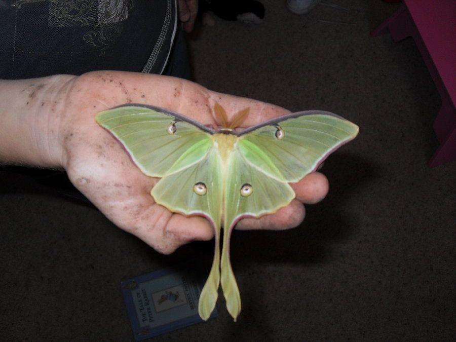 Luna Moth by ~Lushawnalu on deviantART