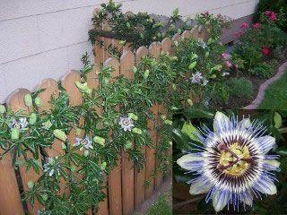 Blue Crown Passionflower Passion Flower Passiflora Caerulea Vine Trellis