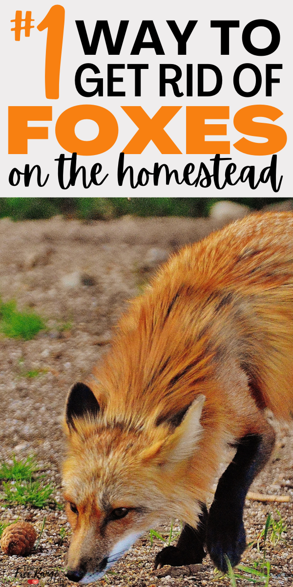 The Number 1 Way To Get Rid Of Foxes For Good Chickens Backyard Raising Backyard Chickens Easy Garden
