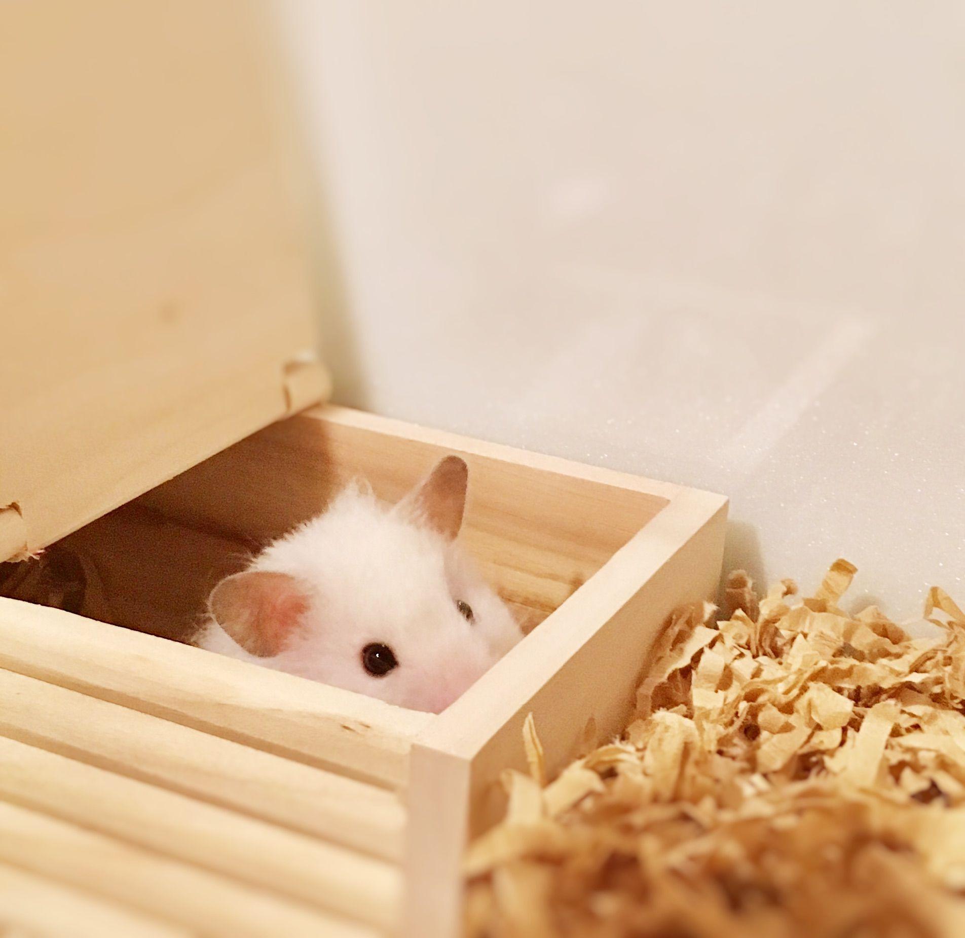 Pin Von Galuszka Anna Auf Hamster Hamster Ratten