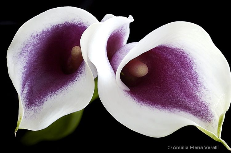 Wedding Flowers Beautiful White Lily Flower Lily Plants Purple Calla Lilies