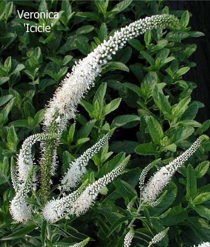 Veronica spicata icicle flowers pinterest veronica gardens veronica spicata icicle mightylinksfo