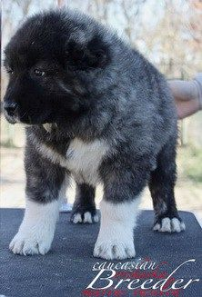 Caucasian Shepherd For Sale >> Caucasian Shepherd For Sale Or Adoption Things To Wear Caucasian
