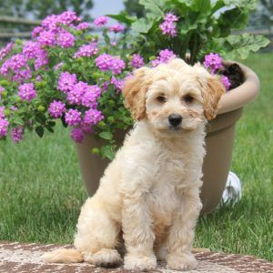 Papi Poo Puppies For Sale Papi Poo Breed Profile Greenfield Puppies Puppies For Sale Greenfield Puppies Dog Activities