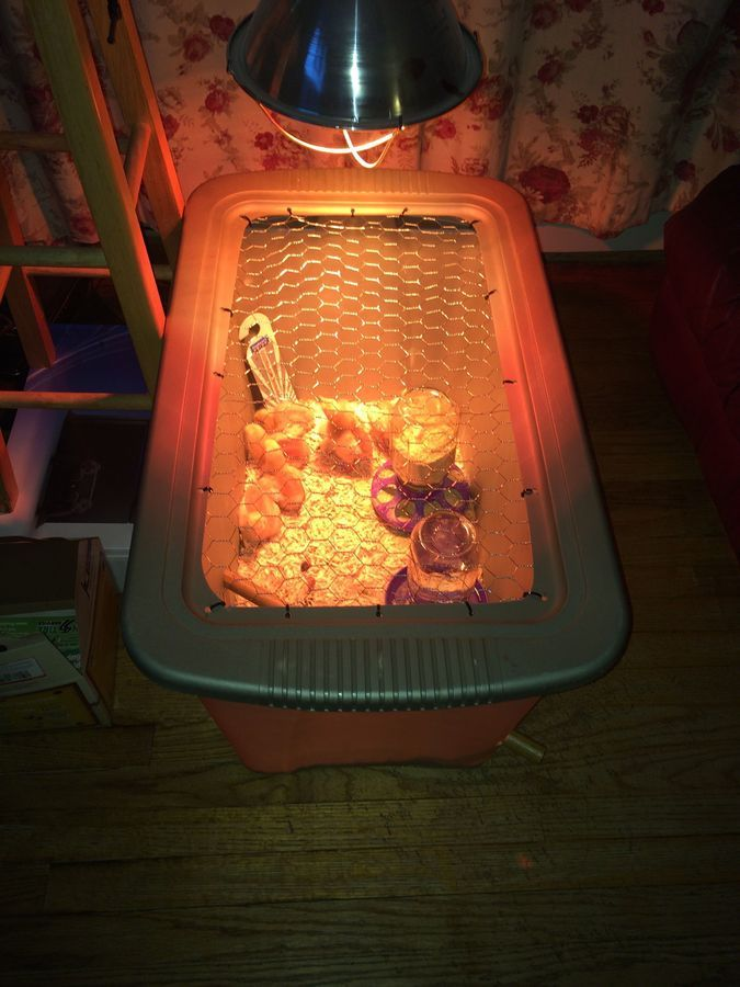 Tote Brooder Box With Our New Family Members Nice And Comfy.