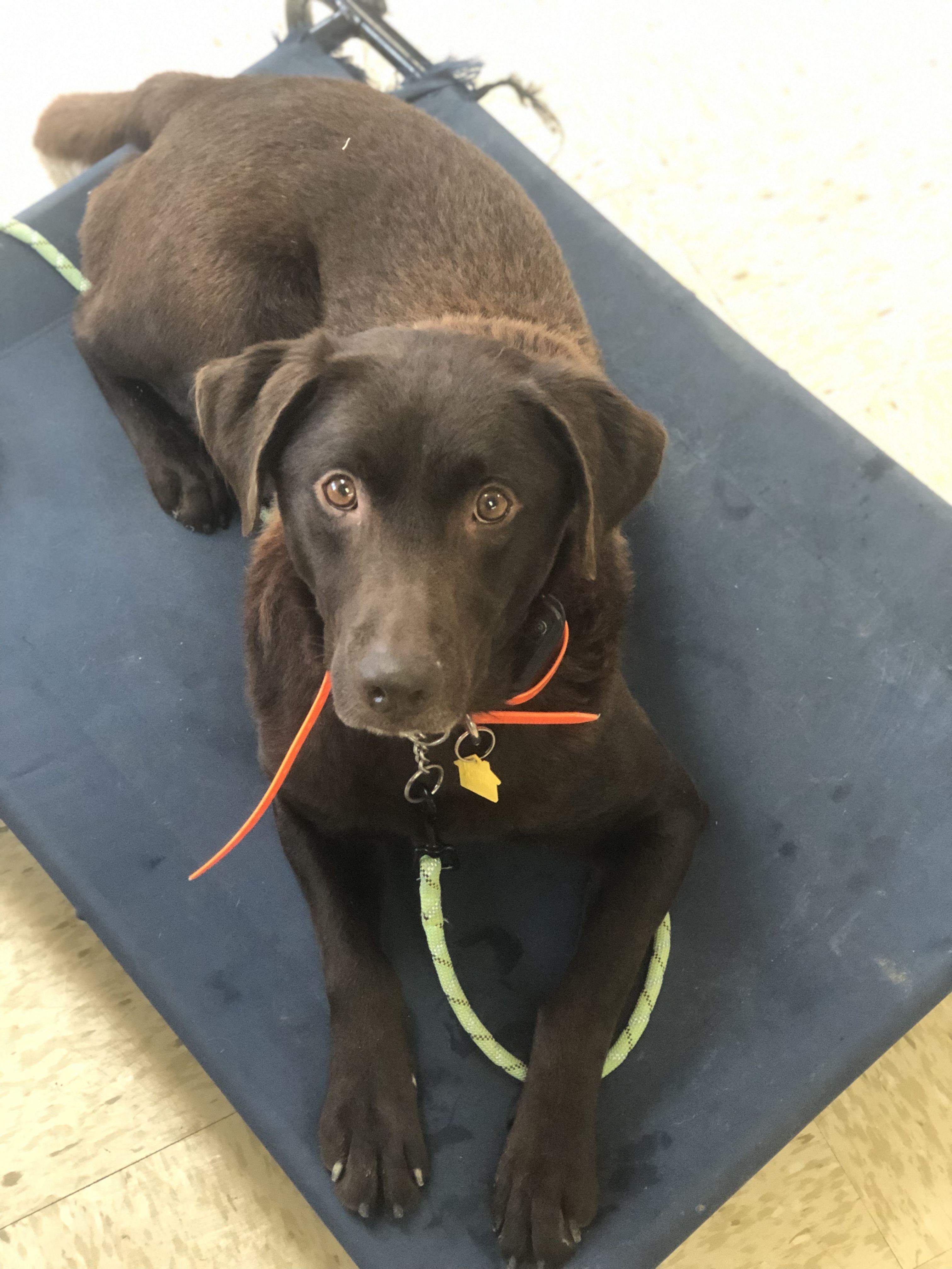 Adopt fletcher on petfinder dog adoption chocolate