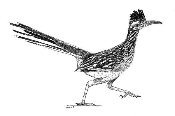 Line Drawing Of Desert Animals : Roadrunner print by scott woyak art i like pinterest drawings